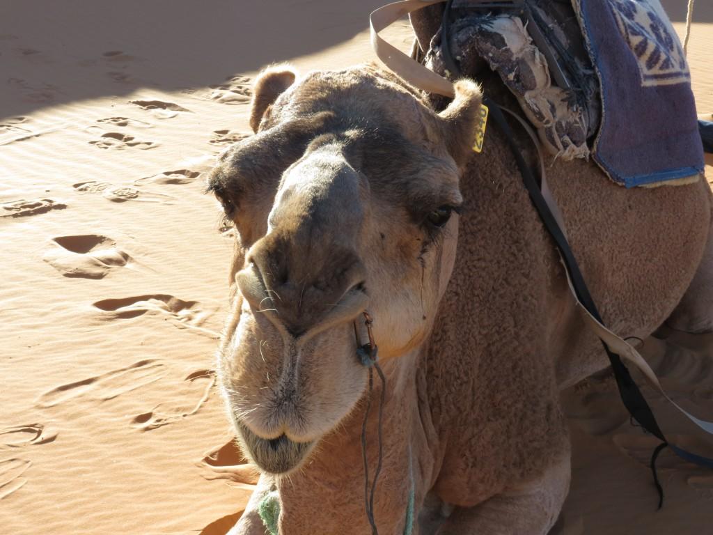 Das besagte Kamel :)