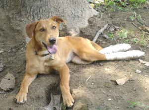 Thailand_Chiang_Mai_help_for_dogs