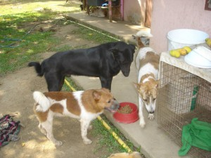 Thailand_Chiang_Mai_help_for_dogs_11