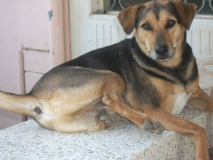 Thailand_Chiang_Mai_help_for_dogs_5