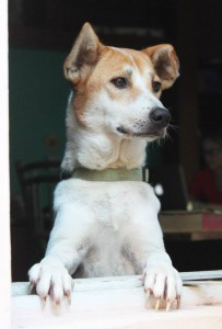 Thailand_Chiang_Mai_help_for_dogs_61