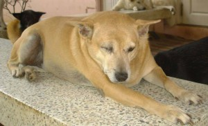 Thailand_Chiang_Mai_help_for_dogs_7