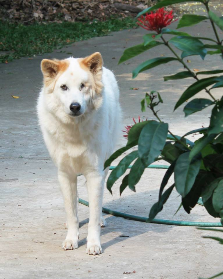 Thailand_Chiang_Mai_help_for_dogs_8