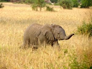 Kenya_Safari_Elefant