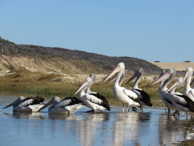 Australien Ostkueste Pelikane Fraser Island