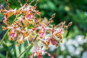 Singapur Sehenswuerdigkeiten Botanischer Garten Orchideen