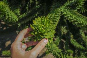 Araukania Chile Araukaria Baum