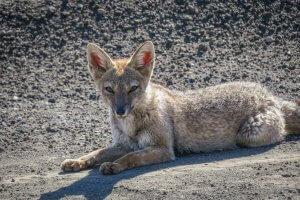 Araukania Chile Fuchs