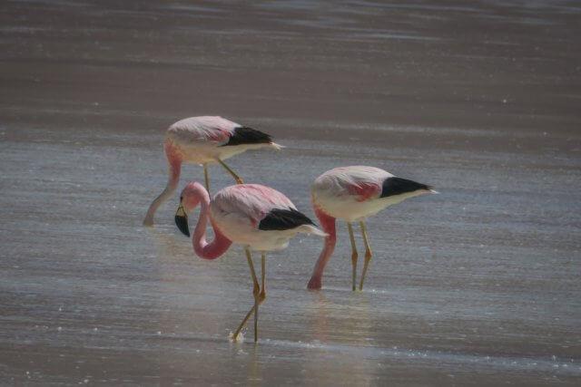 Salar de Uyuni Tour Laguna Verde Flamingos
