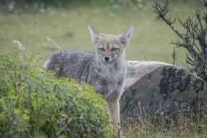 Torres del Paine Trekking Fuchs