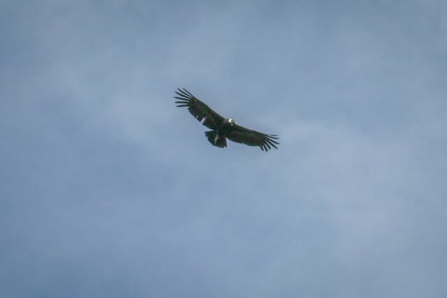 Arequipa Colca Canyon Kondor