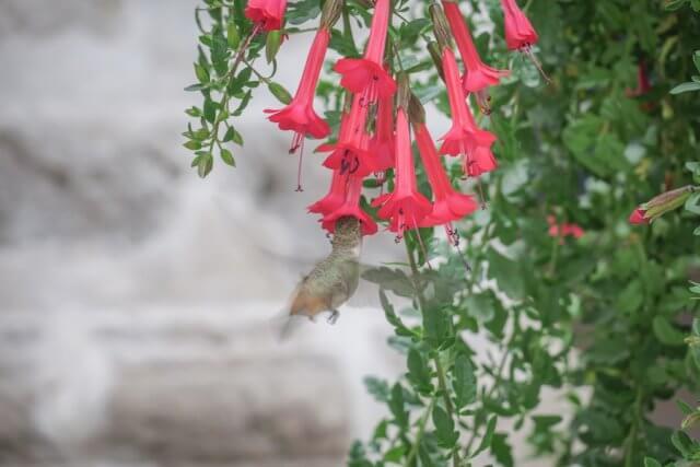 Arequipa Colca Canyon Kolibri