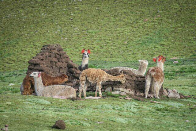 Cusco_Rainbow Mountain Wanderung Lamas