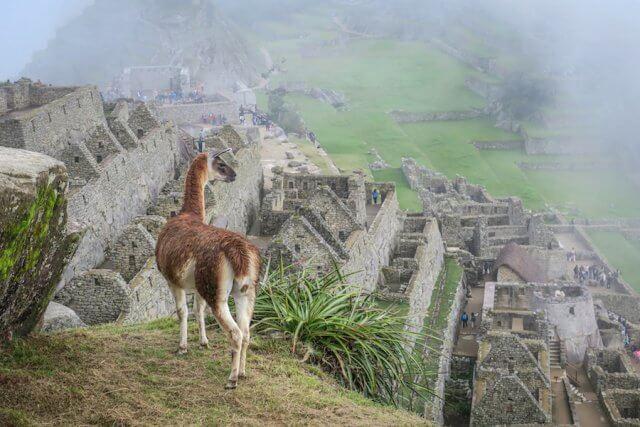 Lares Trek Machu Picchu Peru Lama