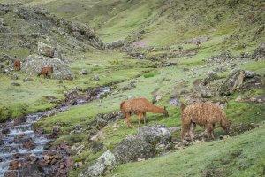 Lares Trek_Machu Picchu_Peru Lamas