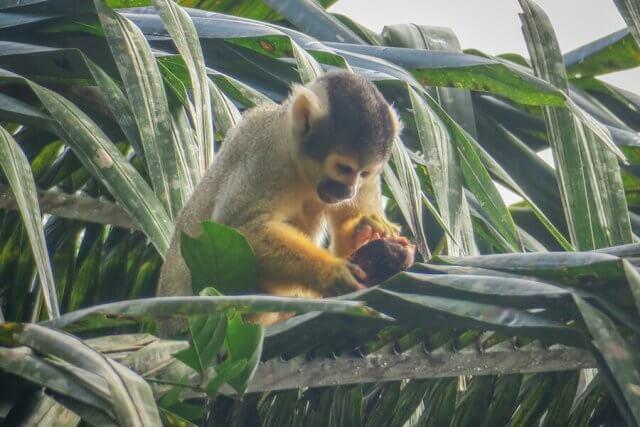 Puerto Maldonado Dschungel Peru Lima Affe