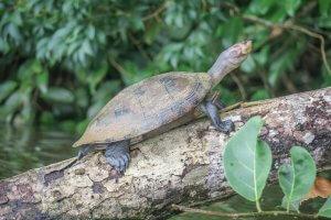 Puerto Maldonado Dschungel Peru Lima Inkaterra Amazonica Schildkröte