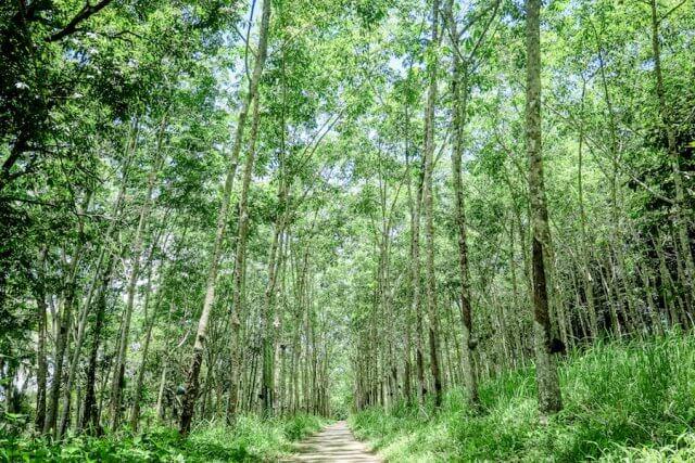Khao Lak Thailand Kautschukplantage