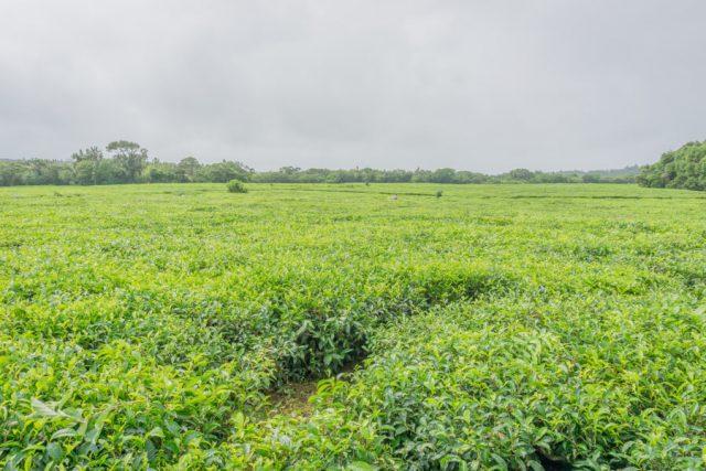 Mauritius Sehenswuerdigkeiten Bois Cheri Teefabrik