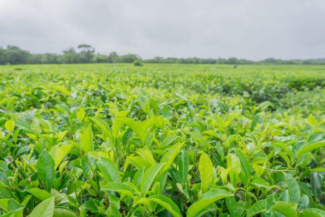 Mauritius Sehenswuerdigkeiten Bois Cheri Teeplantagen