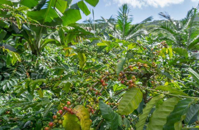 Mauritius Sehenswuerdigkeiten Kaffeeplantagen