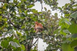 Urlaub Reiseziele August Nasenaffen Borneo Malaysia