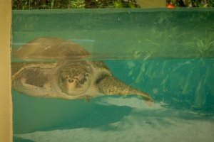Malediven Reise Coco Palm Dhuni Olive Ridley Project Schildkröte Tank