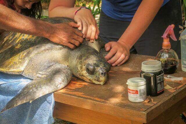 Malediven Reise Coco Palm Dhuni Schildkröte