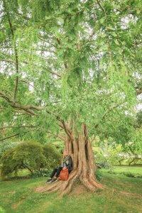 Baden bei Wien Rosarium Mammutbaum