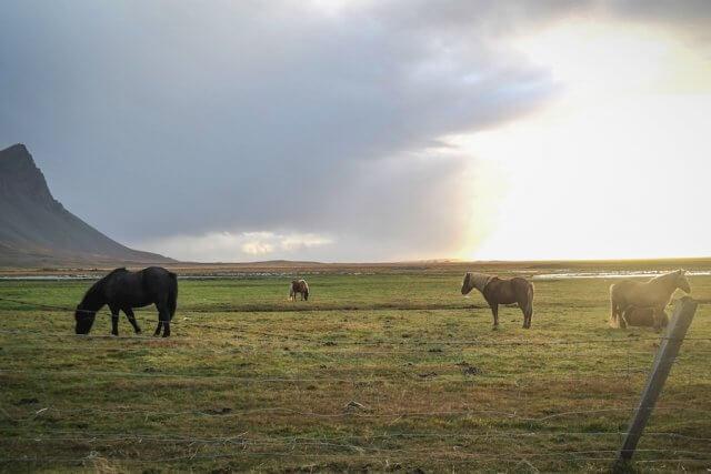 Island Urlaub Tipps Islandpferde