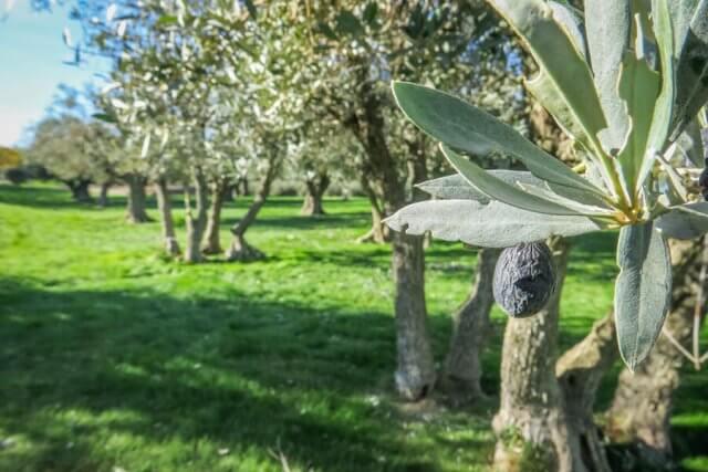 Navarra Spanien Artajo Olivenfarm Familie