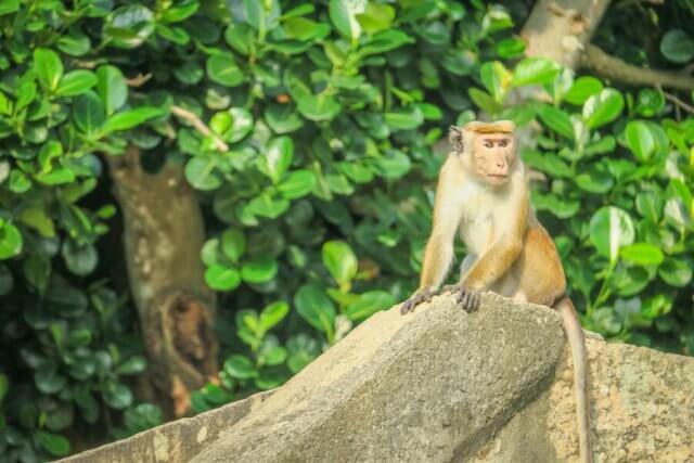 Sri Lanka Ayurveda Paradise Maho Ayurveda Kur Ausflug Tempel Japahuwa Affe