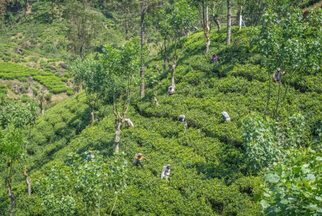 Sri Lanka Rundreise Urlaub Nuwara Eliya Teeplantagen