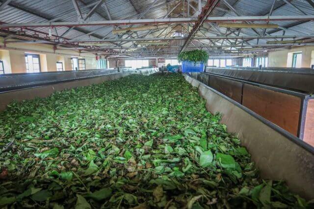 Sri Lanka Urlaub Hikkaduwa Teeplantage Teefabrik
