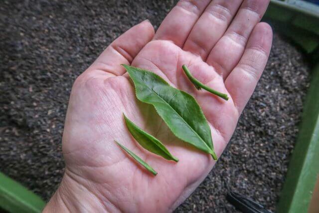 Sri Lanka Urlaub Hikkaduwa Teeplantage Tee