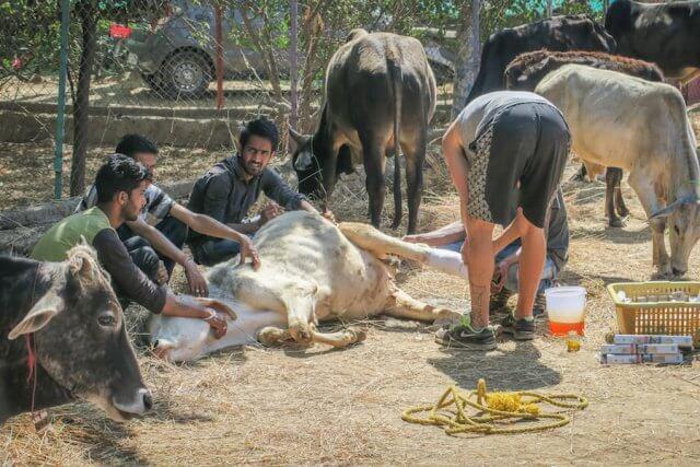 Indien Reisen Udaipur Animal Aid Hunde Tierheim Kühe