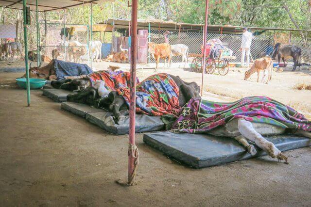 Indien Reisen Udaipur Animal Aid heilige Kühe