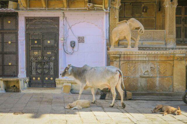 Rajasthan Rundreise Jaisalmer Kühe