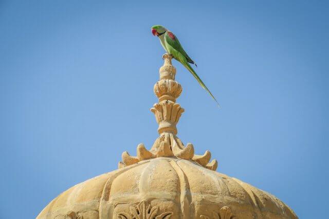 Rajasthan Rundreise Jaisalmer Papagei