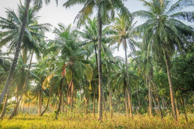 Andamanen Inseln Palmen