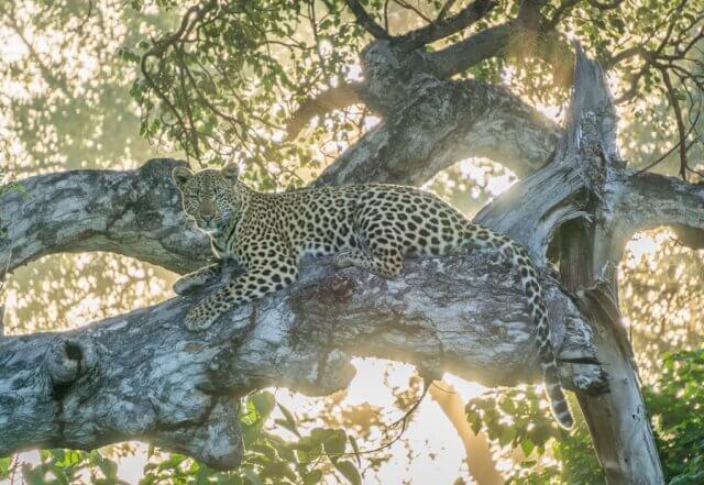 Botswana Okavango Delta Safari Leopard