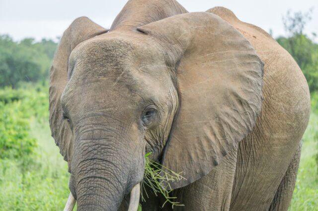 Botswana Safari Chobe Elefant