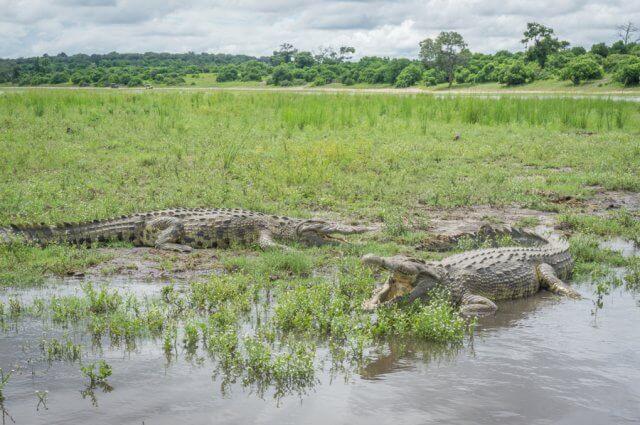 Botswana Safari Chobe Krokodil