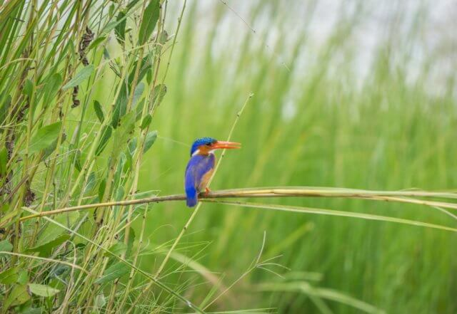 Botswana Safari Chobe River Kingfisher