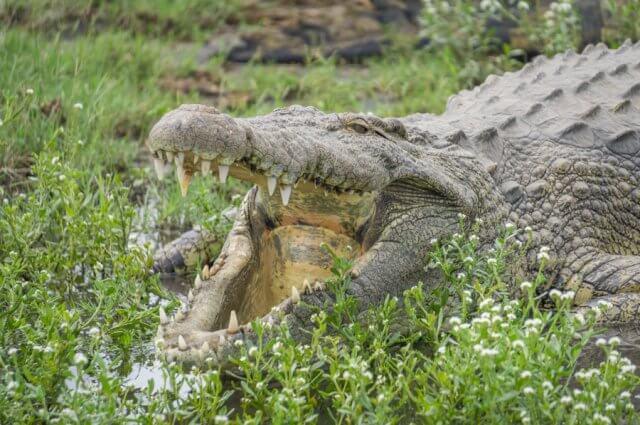 Botswana Safari Chobe River Krokodil