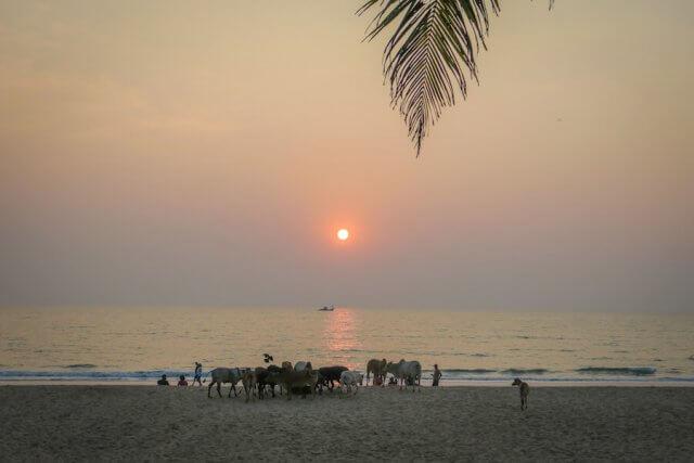 Goa Indien Palolem Beach Kühe Sonnenuntergang