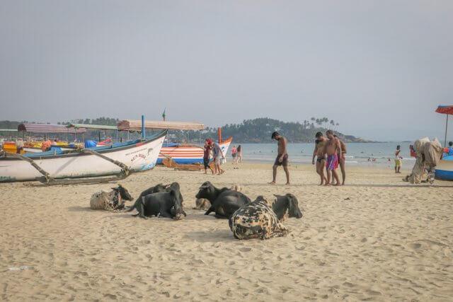 Goa Indien Palolem Beach Kühe