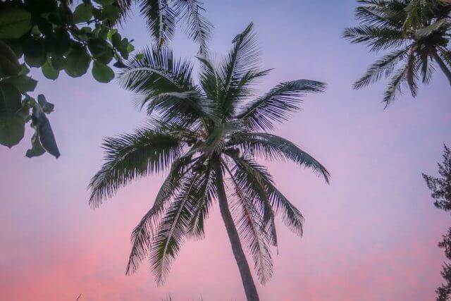 Goa Indien Palme