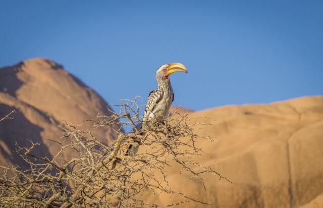 Namibia Rundreise Spitzkoppe Hornschnabel