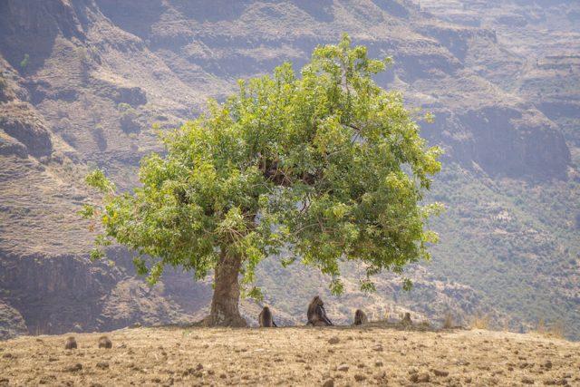 Aethiopien Reisen Blutbrustpaviane Hochland